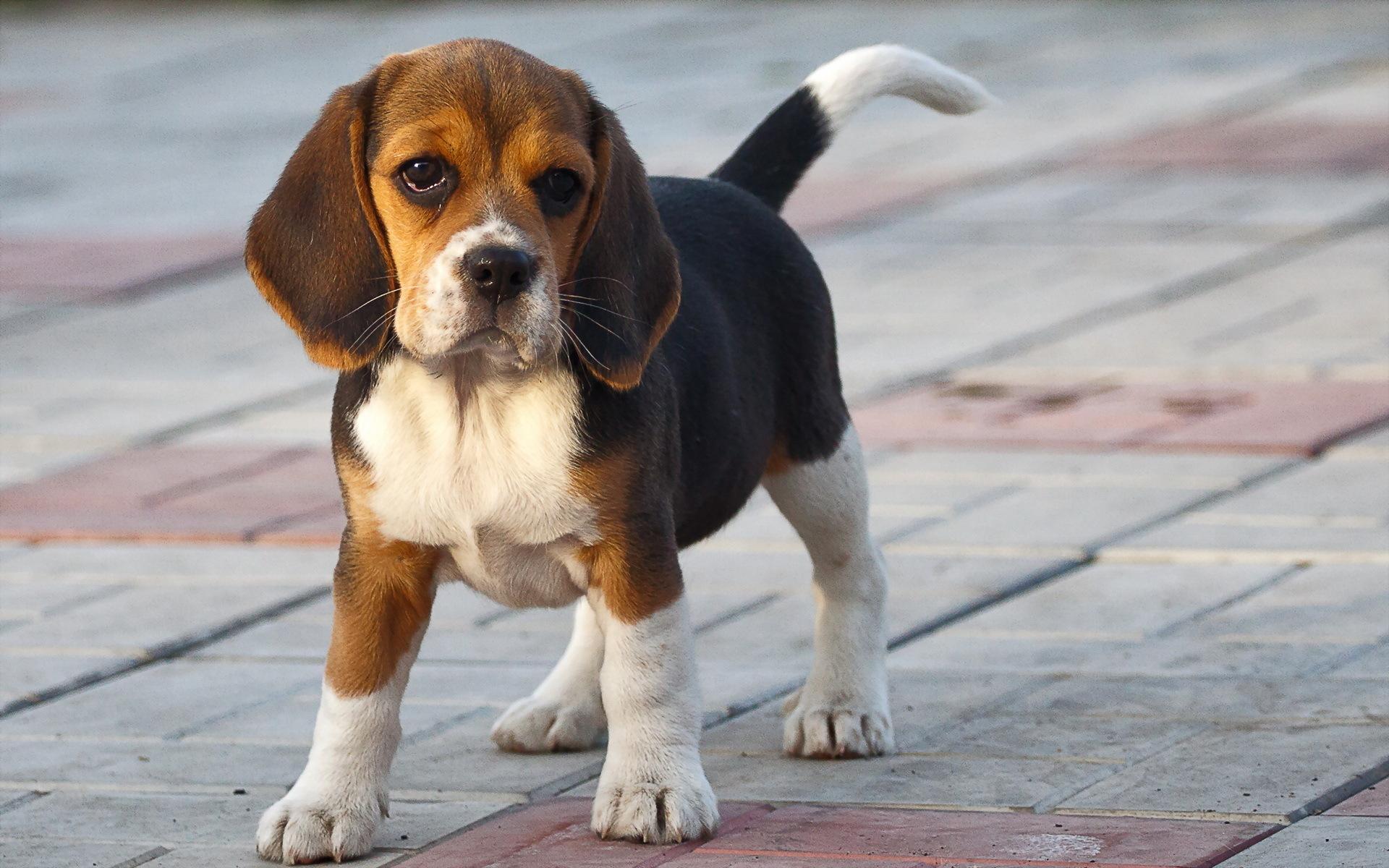 Un espace pour éduquer un beagle