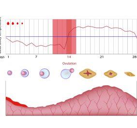 Ovulation : connaître avec précision sa période d'ovulation